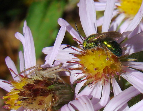 green fauna insect spider metallic arachnid bee crabspider aster araneae hymenoptera hunterdoncounty halictidae apoidea aculeata thomisidae augochlora symphyotrichumpuniceum anthophila augochlorapura augochlorini halictinae
