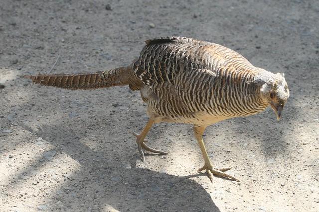 Syrmaticus reevesii (Reeves Pheasant)