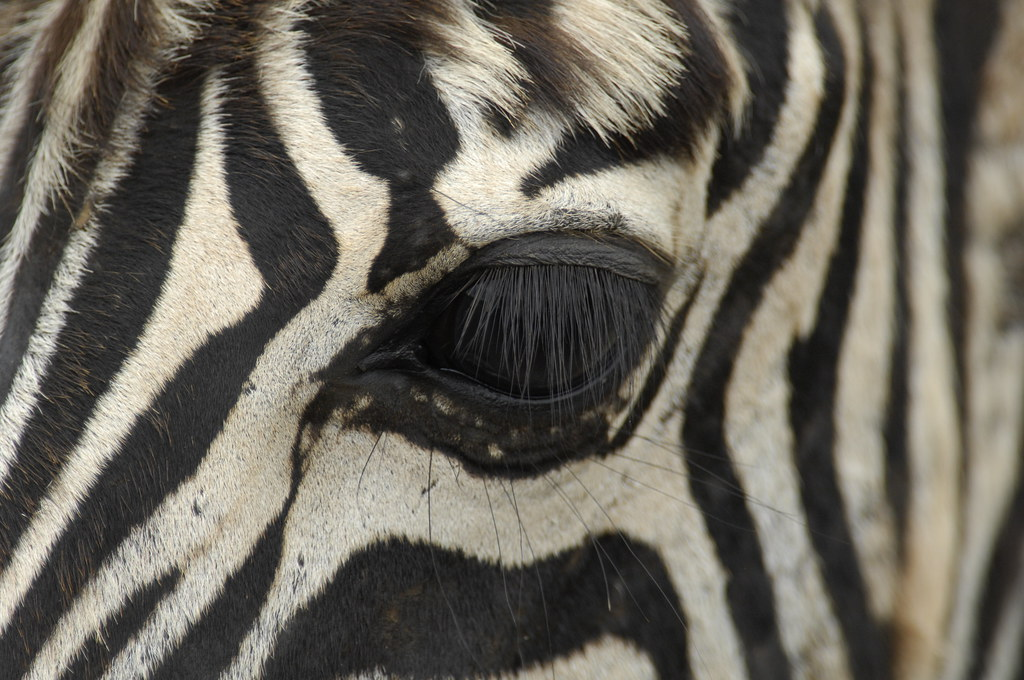 African zebra face