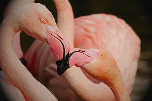 Flamingo flirtation