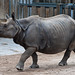 Indian Rhinoceros - Photo (c) Matthias Wicke, some rights reserved (CC BY-NC-SA)