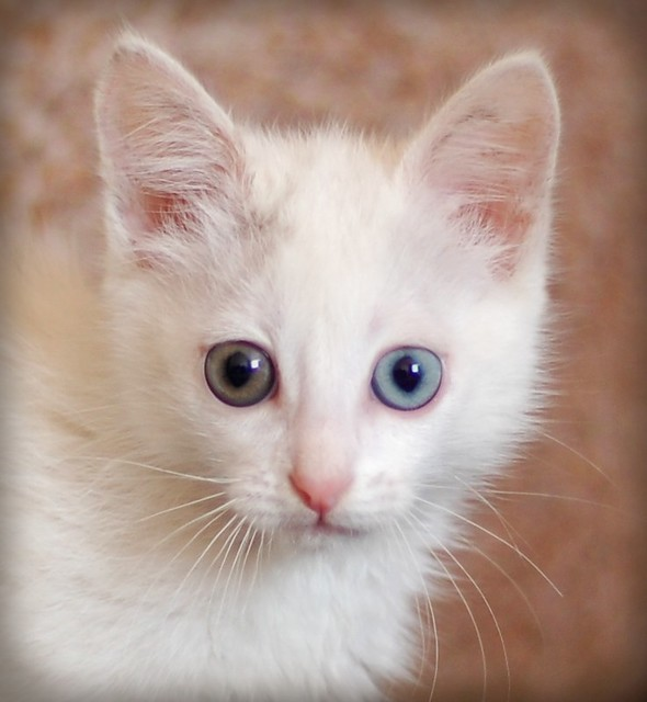 Are Odd Eyed Cats Lucky