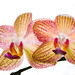 Orchids by KnippenbergPhotography