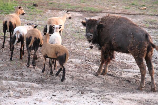 Buffalo and goats