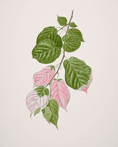 "Catherine Watters, Actinidia kolomikta, 2008  Watercolor on Strathmore 500 series bristol 3 ply, 20"" × 16"". © Copyright Brooklyn Botanic Garden"