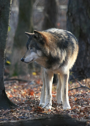 Timber Wolf by dlberek