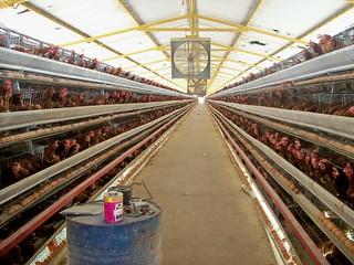 Vista del interior de un galpón aéreo para gallinas ponedoras en la finca de El Tunal en Quíbor, Edo. Lara (septiembre de 2008)