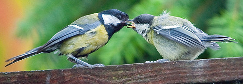 Great Tit's Feeding