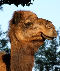 alpaca(0.0), llama(0.0), animal(1.0), mammal(1.0), fauna(1.0), close-up(1.0), camel(1.0), arabian camel(1.0),