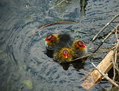 shopping trolley chicks by Counting Coots