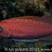Anthias Portrait-20/365