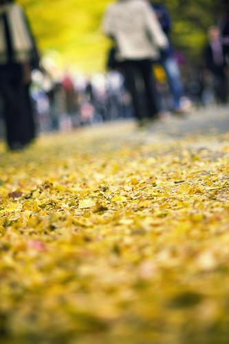 Fallen yellow leaves (Hokkaido University)