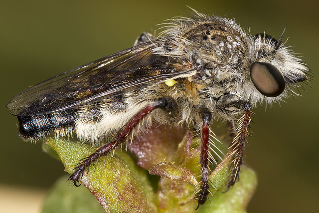 181/365  Robber Fly (Asilidae)