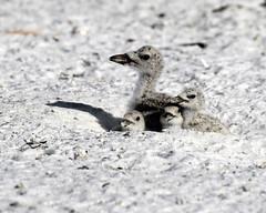 4 Black Skimmer Chicks on the Nest