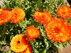 marigold mayhem