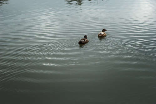jardínbotánico talca chile viiregión regióndelmaule universidaddetalca naturaleza animal ave patos