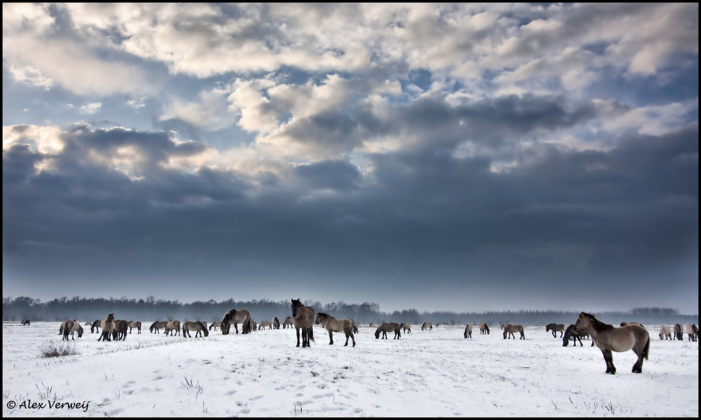 Konikhorses in the snow (Explore)