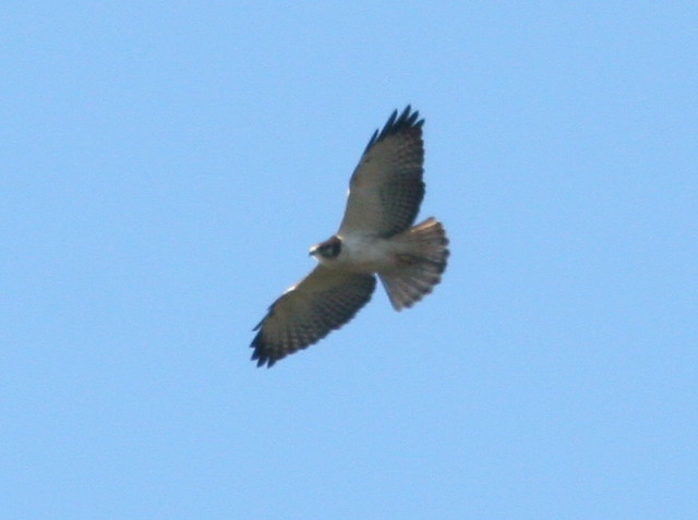 Short-tailed Hawk SOOC Cropped 4-20100108