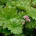 Indian Rhubarb - Photo (c) James Gaither, some rights reserved (CC BY-NC-ND)