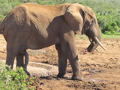 adventure(0.0), mahout(0.0), animal(1.0), indian elephant(1.0), elephant(1.0), elephants and mammoths(1.0), african elephant(1.0), fauna(1.0), savanna(1.0), safari(1.0), wildlife(1.0),