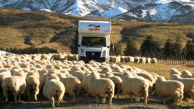 Motorhome south island sheep