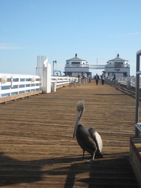 Pelican at Malibu Pier