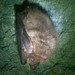 brown big-eared bat - Photo (c) Arvid Hagen, some rights reserved (CC BY-NC-ND)