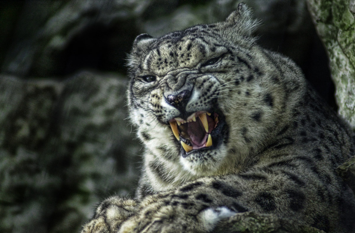 Snow Leopard growl