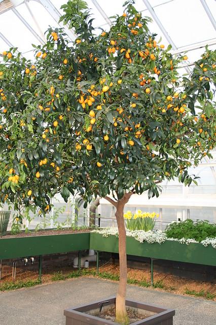 Kumquat tree flickr photo sharing for Plante kumquat
