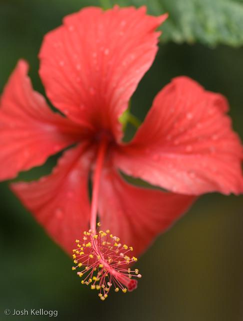 hibiscus stamen flickr photo sharing. Black Bedroom Furniture Sets. Home Design Ideas