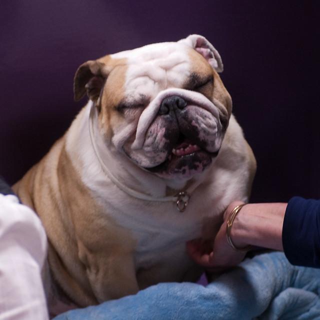 English Bulldog Westminster Dog Show