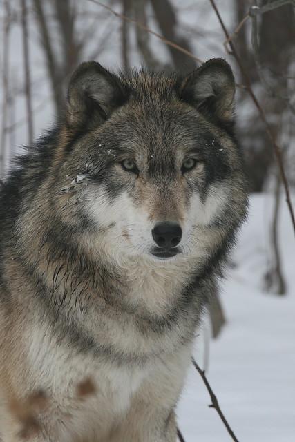 IMG#1590 TUNDRA WOLF