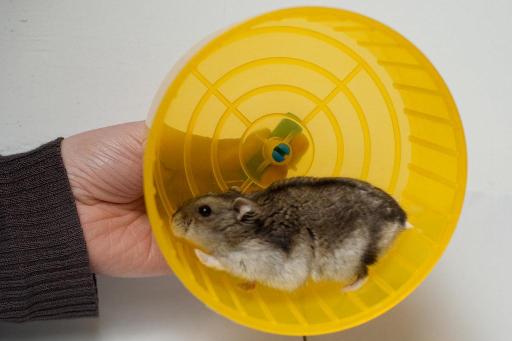 Bebop de hamster