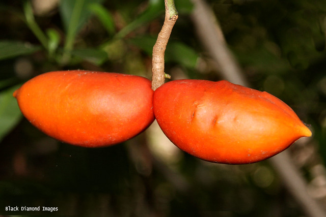 Neisosperma kilneri - Large-fruited Neisosperma , Ornate-seeded Neisosperma