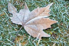 Frozen Dead Leaf