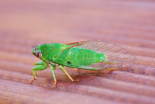 the singing cicada
