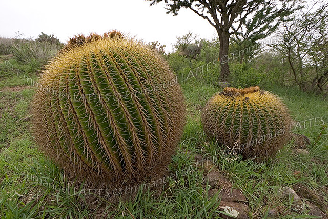 coussins de belle m re echinocactus grusonii san miguel de allende guanajuato mexique. Black Bedroom Furniture Sets. Home Design Ideas
