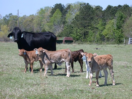 2009 Calves