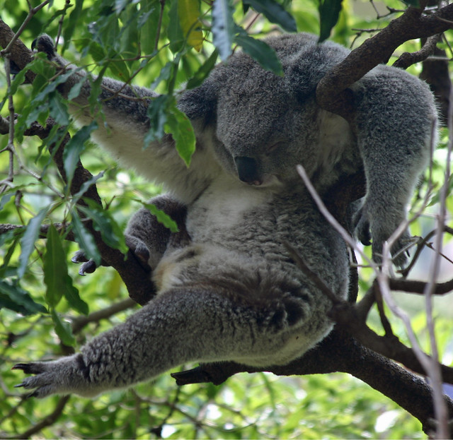 Fuzzy Help Koala Hanging Out