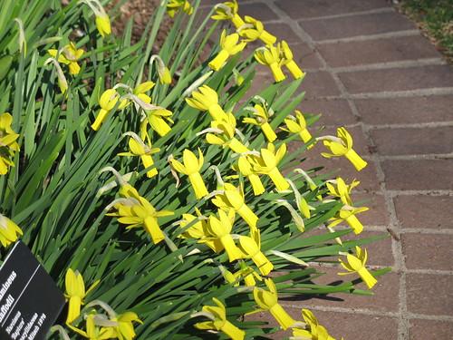 Cyclamineus daffodil