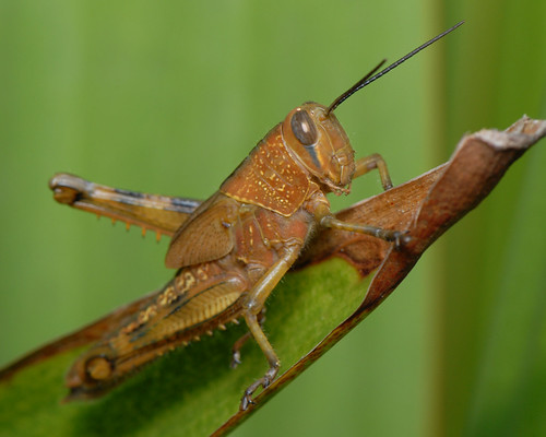 Grasshopper Anatomy Flashcards | Quizlet