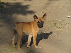 dingo(0.0), czechoslovakian wolfdog(0.0), wolfdog(0.0), dhole(0.0), saarloos wolfdog(0.0), animal(1.0), dog(1.0), pet(1.0), street dog(1.0), mammal(1.0), belgian shepherd malinois(1.0),