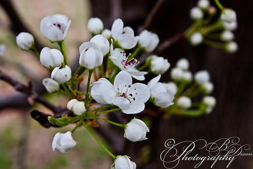 flowers trees tree canon rebel spring sticks xsi stokesdale bradfordpear northcaroina