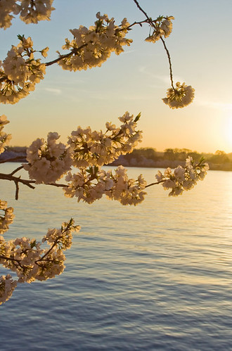 Sunset Blossoms 1 by Lori Lyra