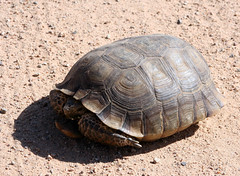 common snapping turtle(0.0), emydidae(0.0), animal(1.0), turtle(1.0), box turtle(1.0), reptile(1.0), loggerhead(1.0), fauna(1.0), wildlife(1.0), sea turtle(1.0), tortoise(1.0),