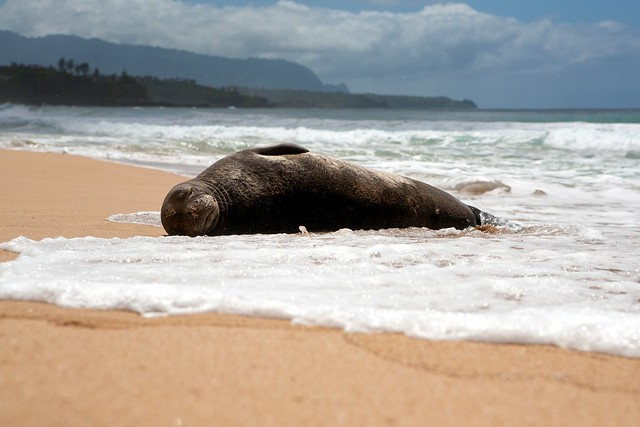 Hawaiian monk seal resting on a beach