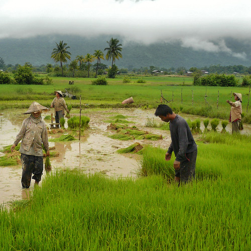 Rice farming in the green paddy fields