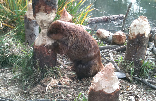 Beaver chewing tree | Flickr - Photo Sharing!