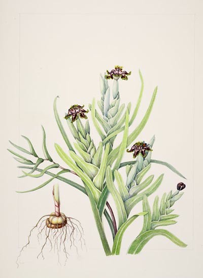 "Eleanor I. Rohrbaugh, Ferraria crispa, 2005.  Watercolor on Arches 140# hot press, 22"" × 16"". © Copyright Brooklyn Botanic Garden"