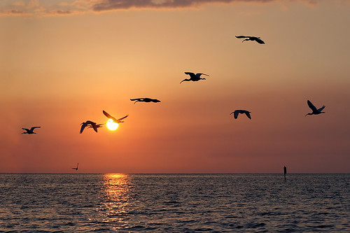 sunset wild usa reflection bird gulfofmexico nature water birds animal animals boat flying tour gulf florida wildlife birding sunsets aves ibis creation boating northamerica fl creatures creature tours fla birdwatching cedarkey whiteibis animalia levy eudocimusalbus goldenhour allrightsreserved 2010 bif boatride audubon birdwatcher gulfcoast copyrighted cedarkeys chordata ibises canonef75300 canoneos30d michellepearson naturecoast whiteibises mickip mickip65 05212010 20100521 may212010 052110 img0037437 filmck